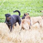 Rottweiler et malinois dans un champ