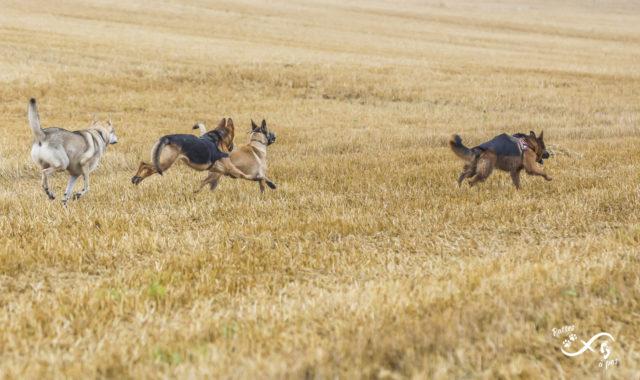 Quatre chiens courent ensemble dans un champ