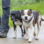 Deux American staff en balade canine