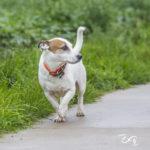 Jack Russel marche en balade canine