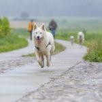 Berger blanc suisse en balade canine