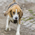 Beagle balade canine Julie Willems