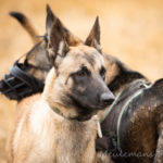 Berger Allemand et Malinois proches
