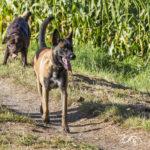 Labrador et Malinois en balade