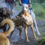Trois chiens en interaction