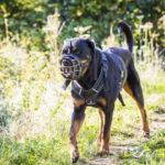 Rottweiler en promenade
