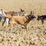 Des chiens se baladent dans un champ