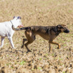 Deux chiens se baladent dans un champ
