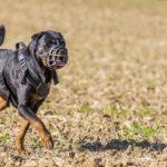 Rottweiler dans un champ