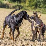 Trois chiens en interaction dans un champ