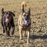 Labrador et Malinois dans un champ