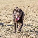 Labrador dans un champ