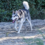 Husky en balade canine