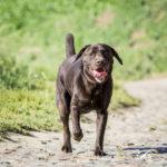 labrador balade canine Julie Willems