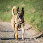 malinois balade canine Julie Willems