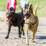 deux chiens se promènent ensemble