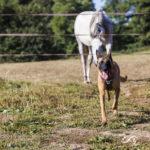 Un malinois et un cheval