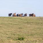 Chevaux dans une prairie