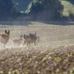 Six chiens qui courent dans un champ