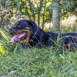 Rottweiller couché dans l'herbe