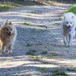 Deux chiens se baladent ensemble