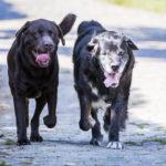 Labrador et chien croisé côte à côte