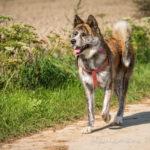 Akita en balade canine