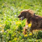 Cocker en balade canine