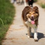 Berger Australien en balade canine