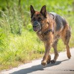 Berger Allemand balade canine
