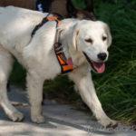 Golden retriever en balade canine