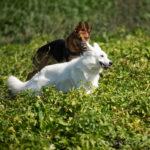 Berger Allemand et Berger blanc suisse courent ensemble