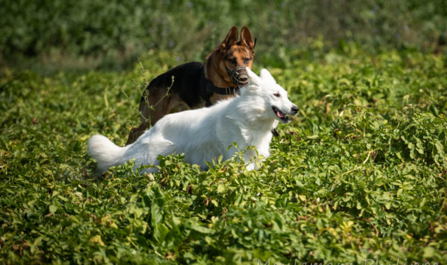 Berger Allemand et Berger blanc suisse courent ensemble