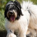 Shih Tzu balade canine
