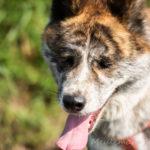 Akita balade canine