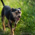 Chien croisé en balade canine