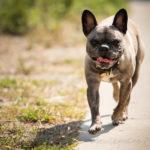 bouledogue français en balade canine