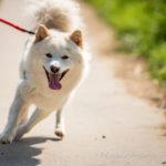 Akita en laisse en promenade