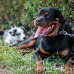 Deux chiens couchés dans l'herbe