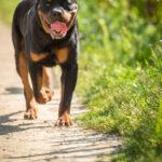 Rottweiler se balade sur un chemin de terre