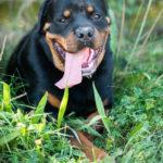 Rottweiler couché dans l'herbe