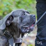 Cane Corso en balade canine