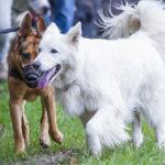Deux chiens marchent ensemble