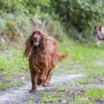 Chien heureux de sa balade canine