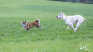 Akita et dogue Allemand courent ensemble