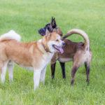 Akita et malinois jouent ensemble