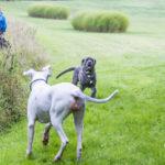 Deux chiens jouent