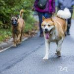 un malinois et un akita en balade canine