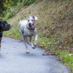 Rottweiler et dogue allemand en pleine course