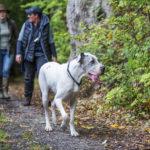 Dogue allemand dans la forêt